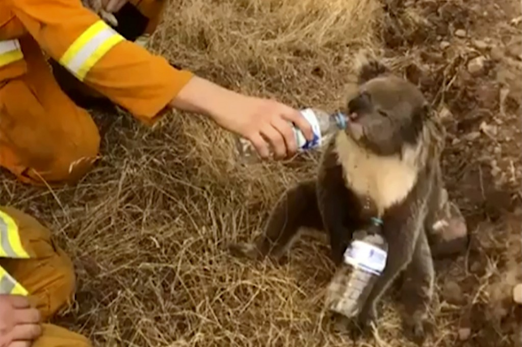 FIEL - In this image made from video taken on Dec. 22, 2019, and provided by Oakbank Balhannah CFS, a koala drinks water from a bottle given by a fire...