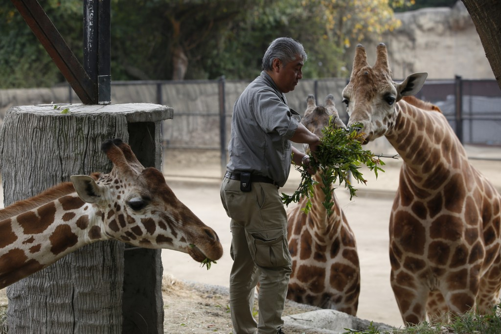 Chapultepec Zoo director zoo director Juan Carlos Sánchez Olmos feeds a giraffe in its enclosure, in Mexico City, Sunday, Dec. 29, 2019. The 96-year-o...