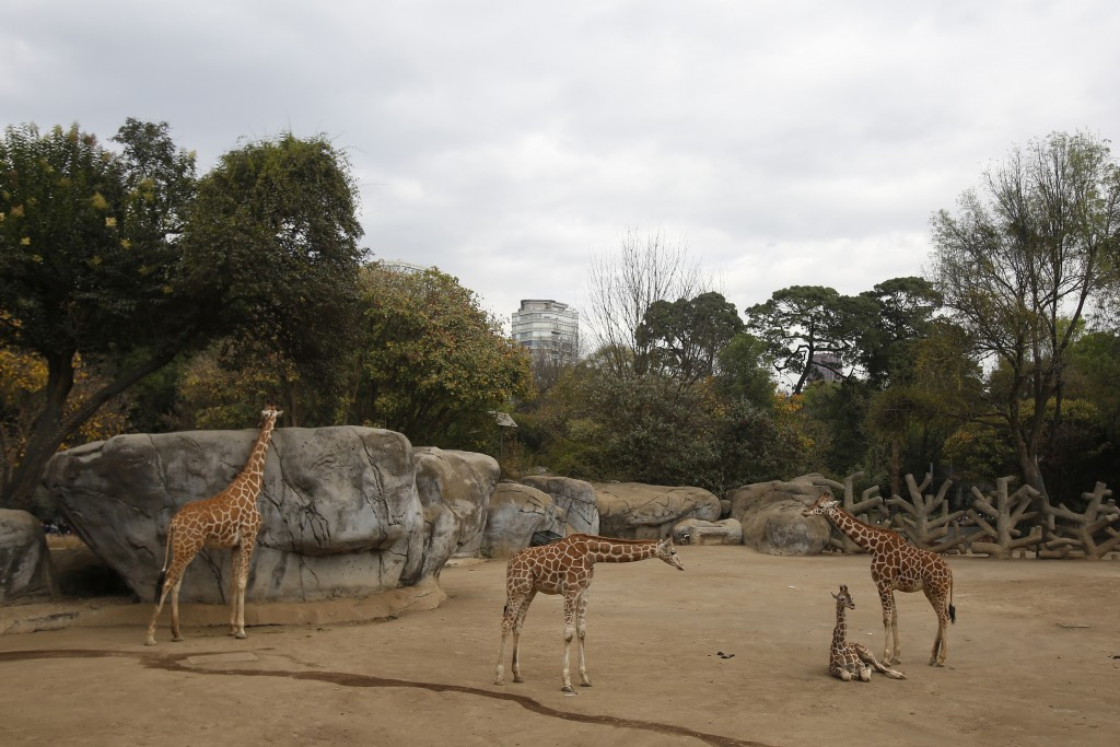A two-month-old giraffe sits in her enclosure at the Chapultepec Zoo in Mexico City, Sunday, Dec. 29, 2019. The Mexico City zoo is celebrating its sec...