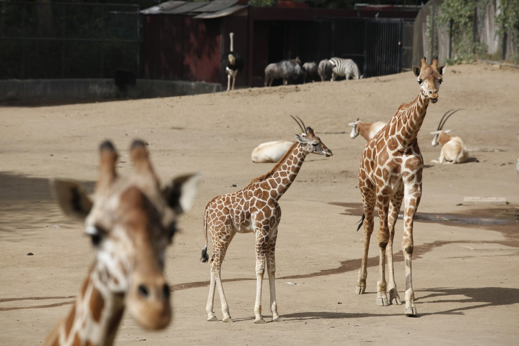 A two-month-old giraffe, center, stands in her enclosure at the Chapultepec Zoo in Mexico City, Sunday, Dec. 29, 2019. The Mexico City zoo is celebrat...
