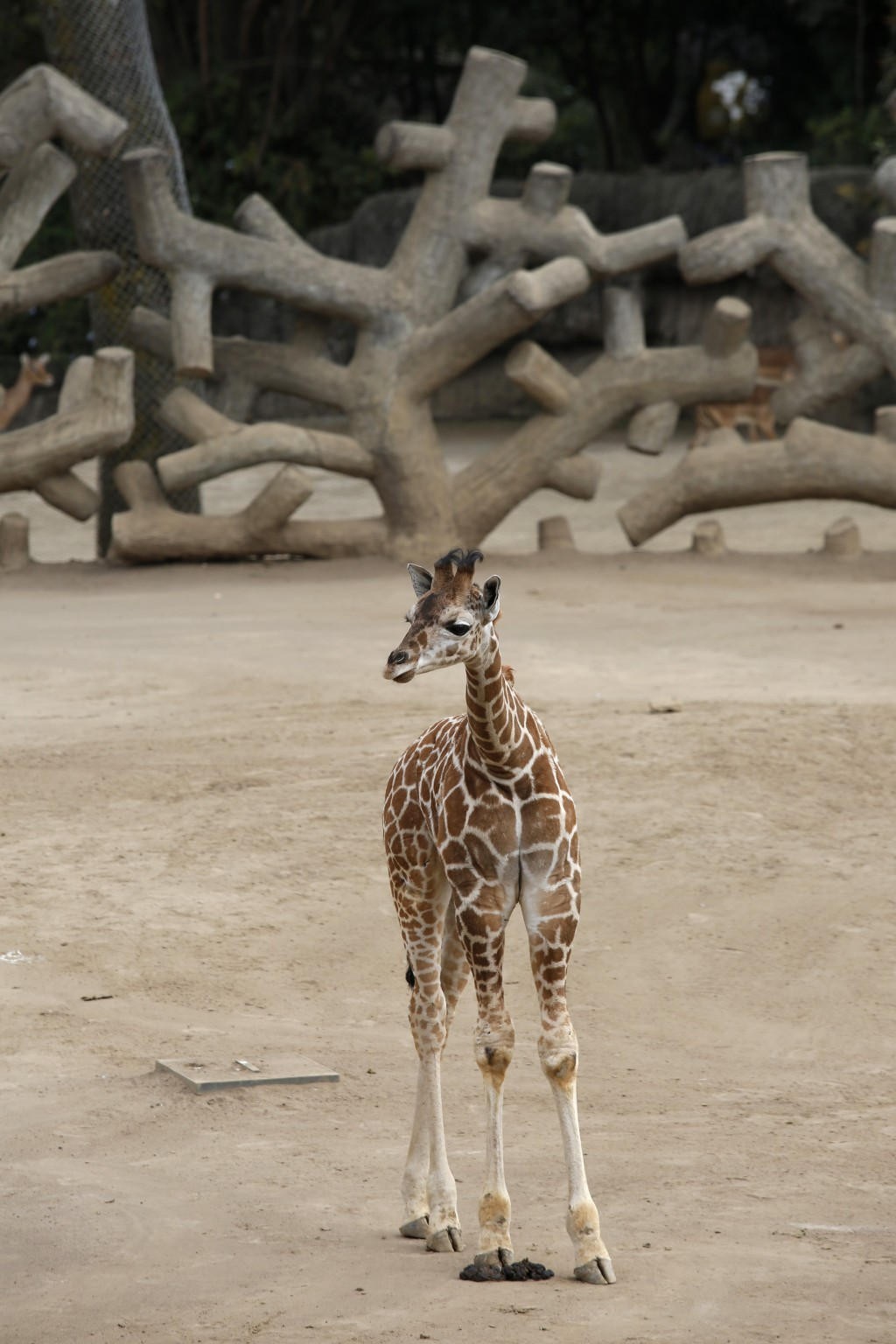 A two-month-old giraffe stands in her enclosure at the Chapultepec Zoo in Mexico City, Sunday, Dec. 29, 2019. The Mexico City zoo is celebrating its s...