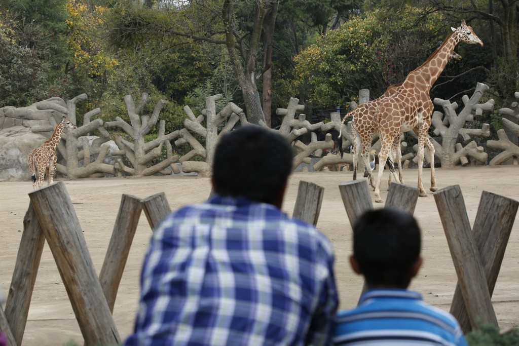 A two-month-old giraffe, left, stands in her enclosure at the Chapultepec Zoo in Mexico City, Sunday, Dec. 29, 2019. The city zoo is celebrating its s...