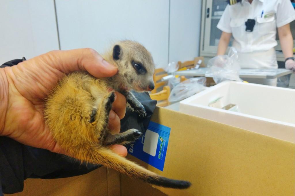 桃園國際機場27日查獲一名旅客非法夾帶走私8隻活體動 物,其中首度查獲2隻罕見非洲狐獴,由於沒有申報 申請,海關人員依違反動物傳染病防治條