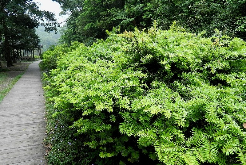 Taiwan cow-tail fir's removal from cultural heritage list contributes to research purposes