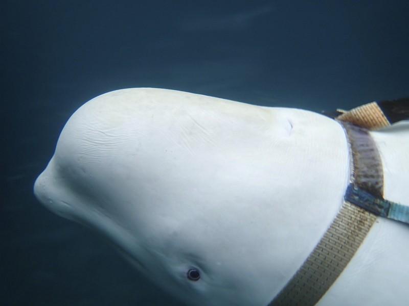 挪威外海驚見「俄國軍種」小白鯨(圖/美聯社)