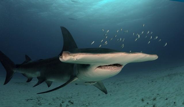 無溝雙髻鯊