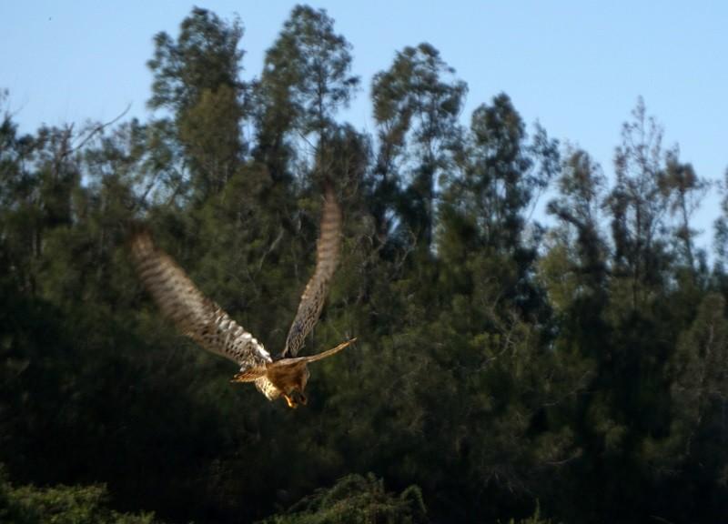 金門國家公園管理處3日進行野放,紅隼展翅高飛而去。中央社