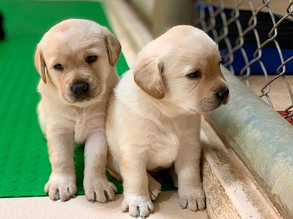 Sniffer Labradors in need of adoption.