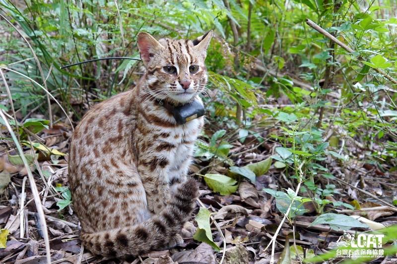 Leopard cat (Leopard Cat Association of Taiwan Facebook photo)
