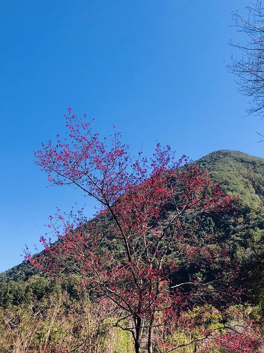 Admire the cherry blossoms of central Taiwan: Basianshan