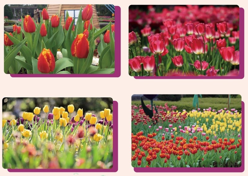 Tulip show opens at Taipei's Shilin Residence Park on Valentine's Day
