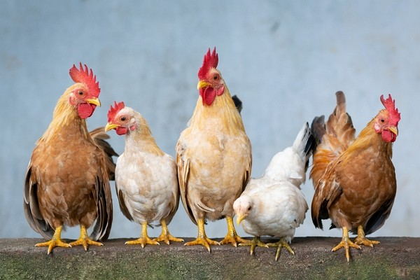 China lifts ban on poultry products from U.S. (Pixabay photo)