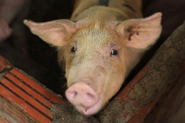 Taiwan bans Italian pork due to African Swine Fever.