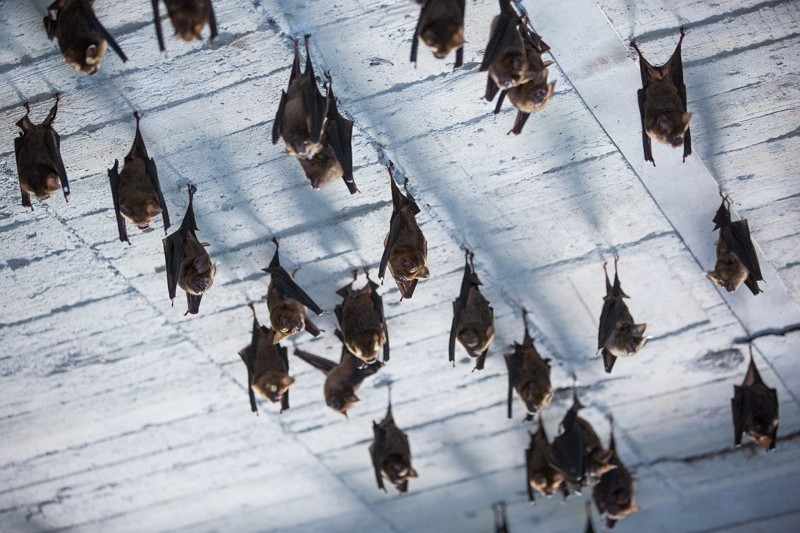 Bats in Taiwan (New Taipei Animal Protection and Health Inspection Office photo)