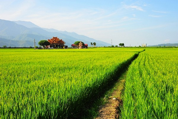 Rice farms in Taitung receivelarge orders from international buyers. (Taitung County Government photo)