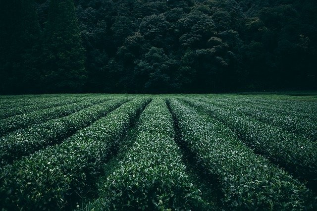A tea plantation. (Pixabay photo)