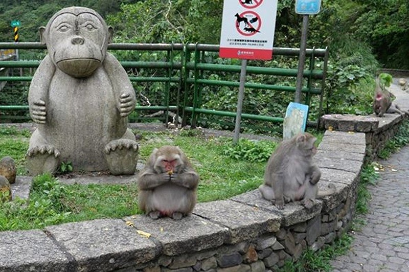 Formosan macaques at the Dengxian Bridge in Taitung County (蔡煥棟 photo)