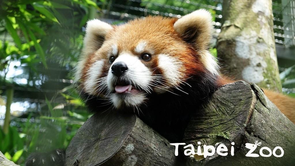 小貓熊。(照片來源:台北市立動物園)