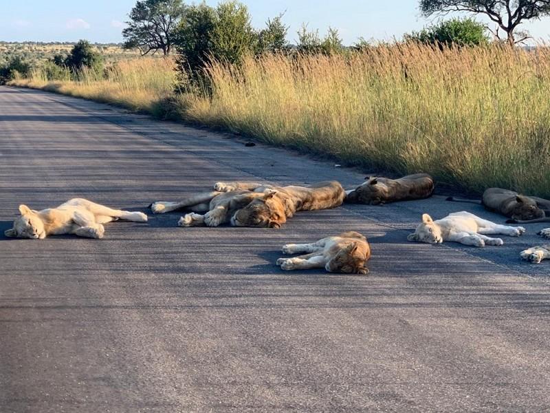 南非克魯格國家公園獅群(圖片:園方官方推特)