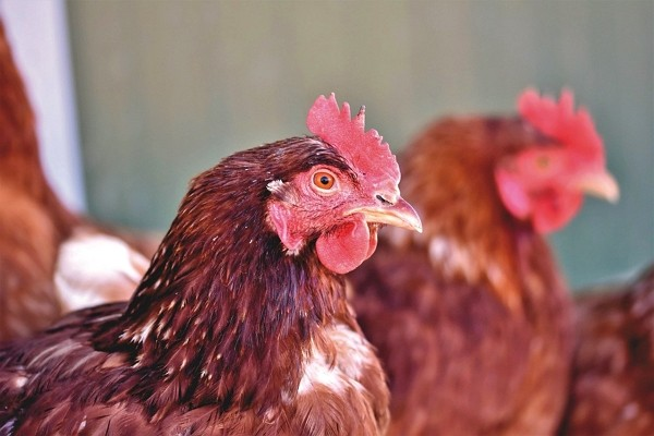 16,000 chickens on Pingtung farm culled Saturday because of avian flu. (Pixabay photo)