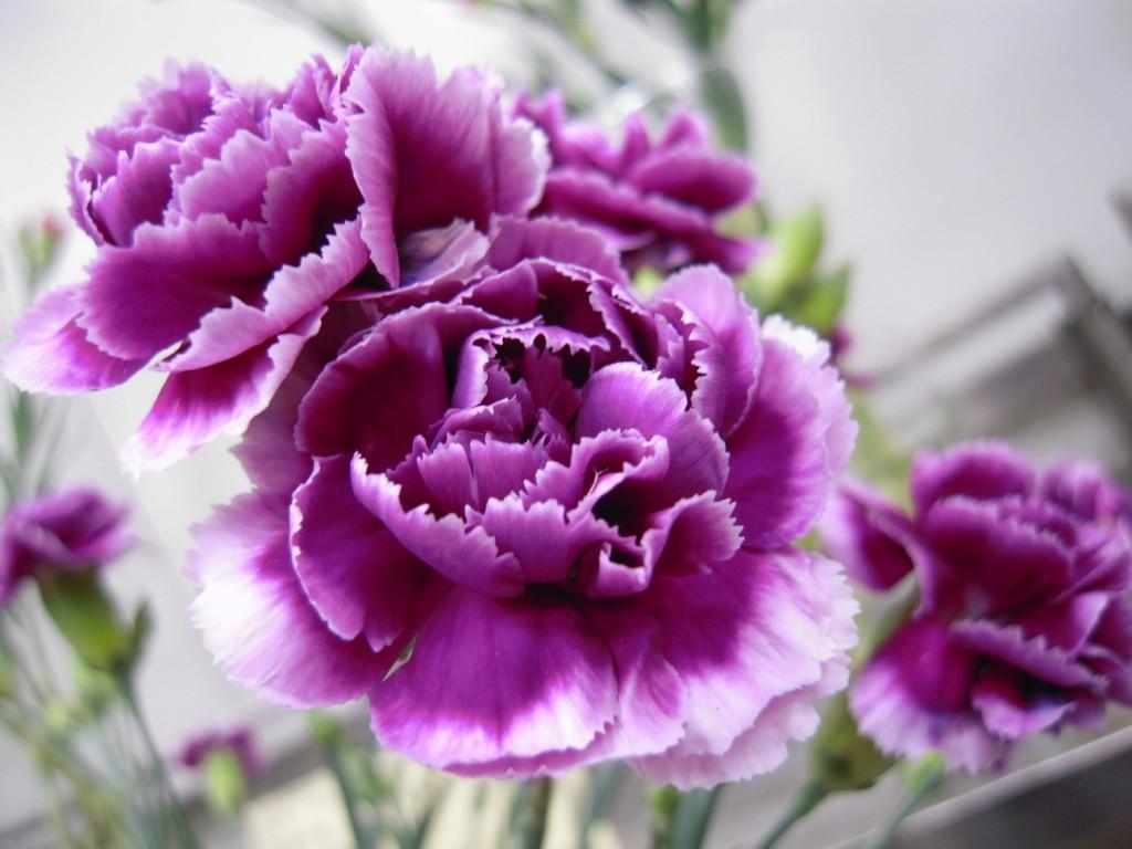 康乃馨品種花色多元,包括常見的紅、橙、黃、粉、白、紫、混色等色系。(照片由農委會提供)