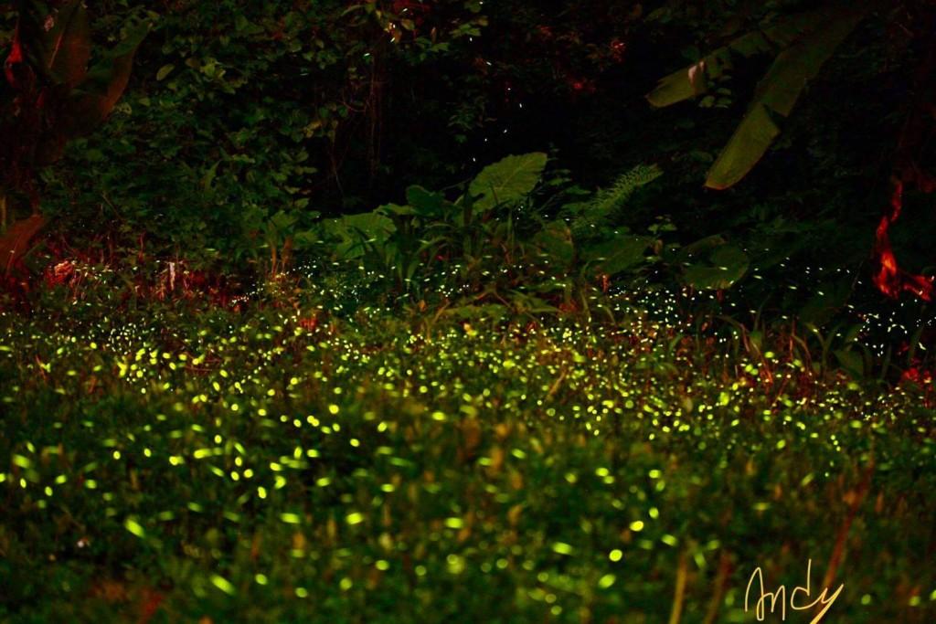 螢火蟲季是每年春季台中山城地區的盛事之一。(照片提供:東勢區梨之鄉休閒農業區提供)
