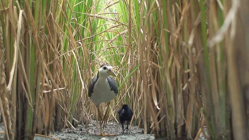 白腹秧雞。(圖片來源:新竹林管處提供)