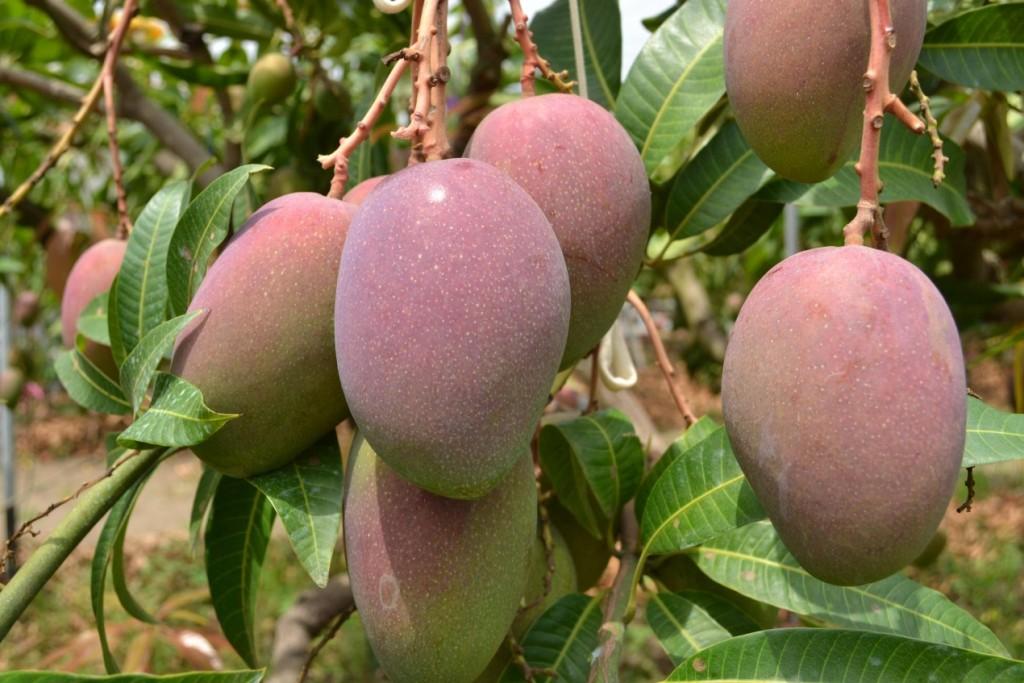 芒果。(圖片來源:農糧署)