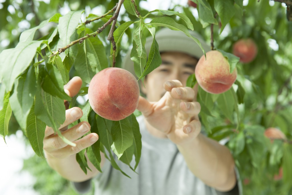A man is picking fruit at a farm.(gettyimages photo)