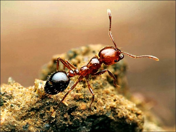 Victims of fire ants may suffer significantburning, swelling, and blistering. (Pixabay photo)