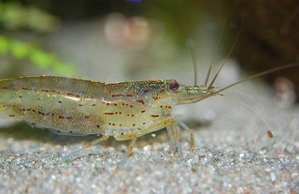 Several Taiwanese shrimp farms severely affected by DIV1 virus. (Pixabay photo)