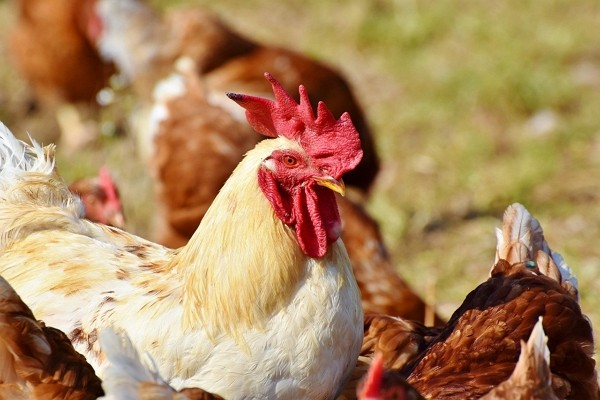 Nearly 10,000 chickens on Changhua farm culled due to avian flu. (Pixabay photo)