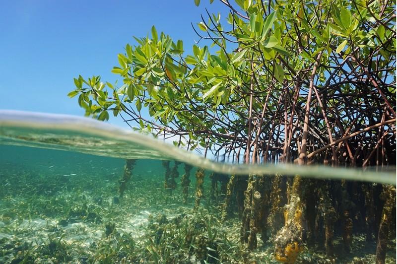 巴拿馬紅樹林(圖/Getty Images)