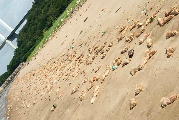Rotten pig legs and animal body parts spread across 1 km ofChinese beach. (Weibo screenshot)