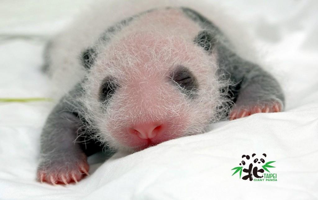 大熊貓寶寶(照片來源:台北市立動物園提供)