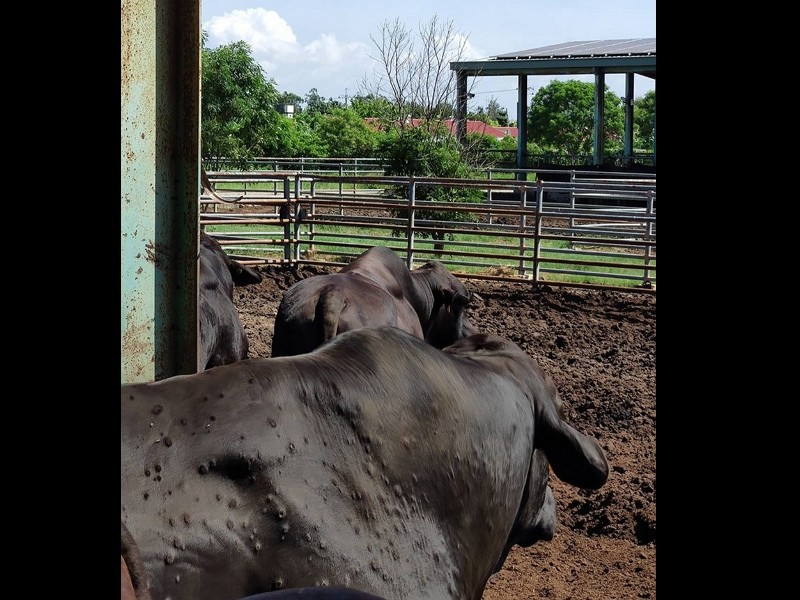 Cattle infected with lumpy skin disease (COA via CNA photo)