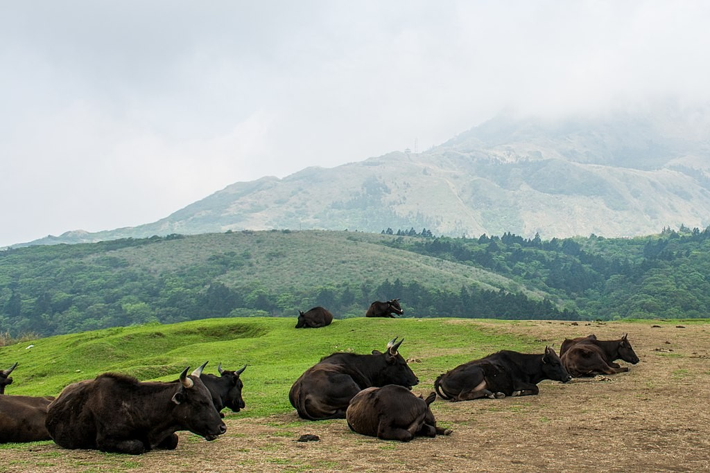 Cattle in Yangmingshan National Park. (Wikicommons, Sinjhong0227 photo)