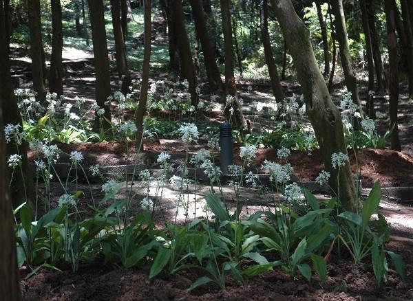台灣原生白鶴蘭盛開 桃園市多個生態景點可觀賞
