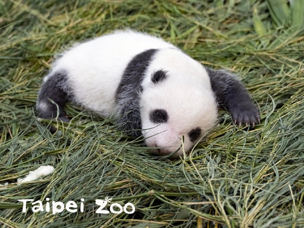 圖為大貓熊寶寶「圓仔妹」,乳名叫「柔柔」。(圖取自台北市立動物園臉書。)