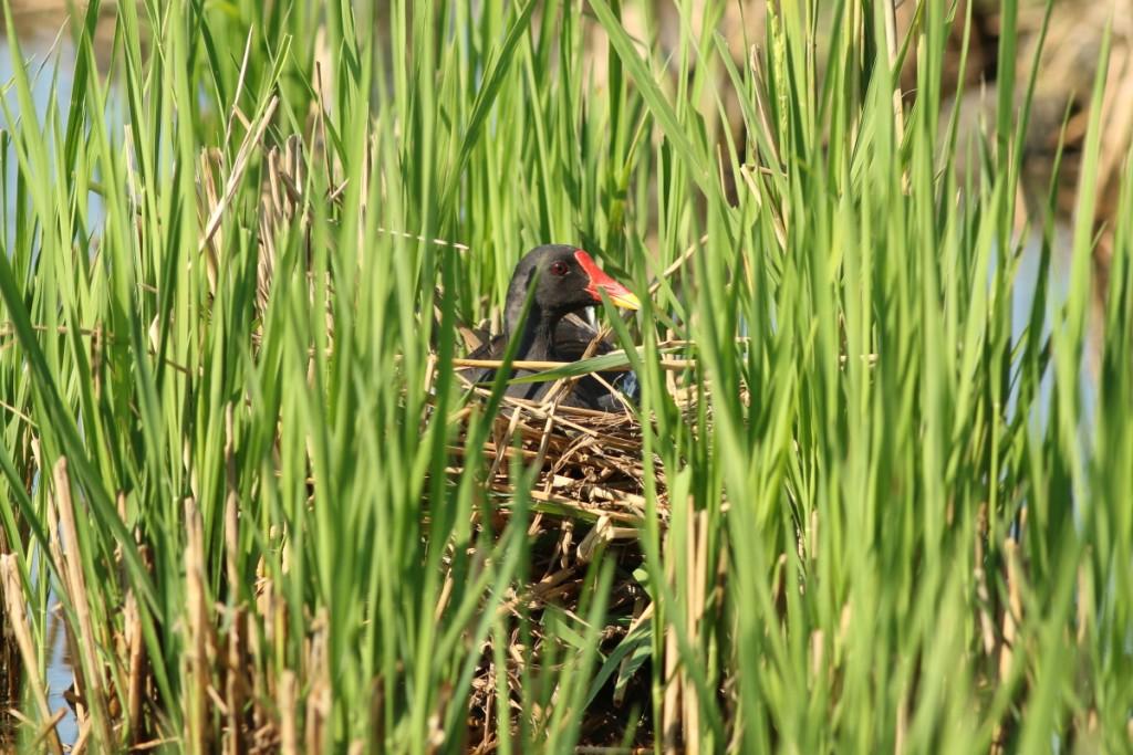 紅冠水雞折斷稻葉在田裡築巢。(林哲安攝 / 特生中心提供)