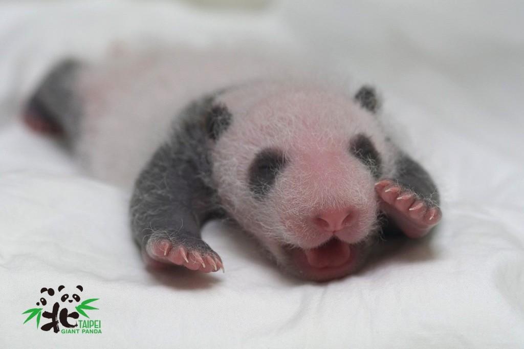 剛出生的大熊貓圓仔妹(圖/ 台北市立動物園提供)