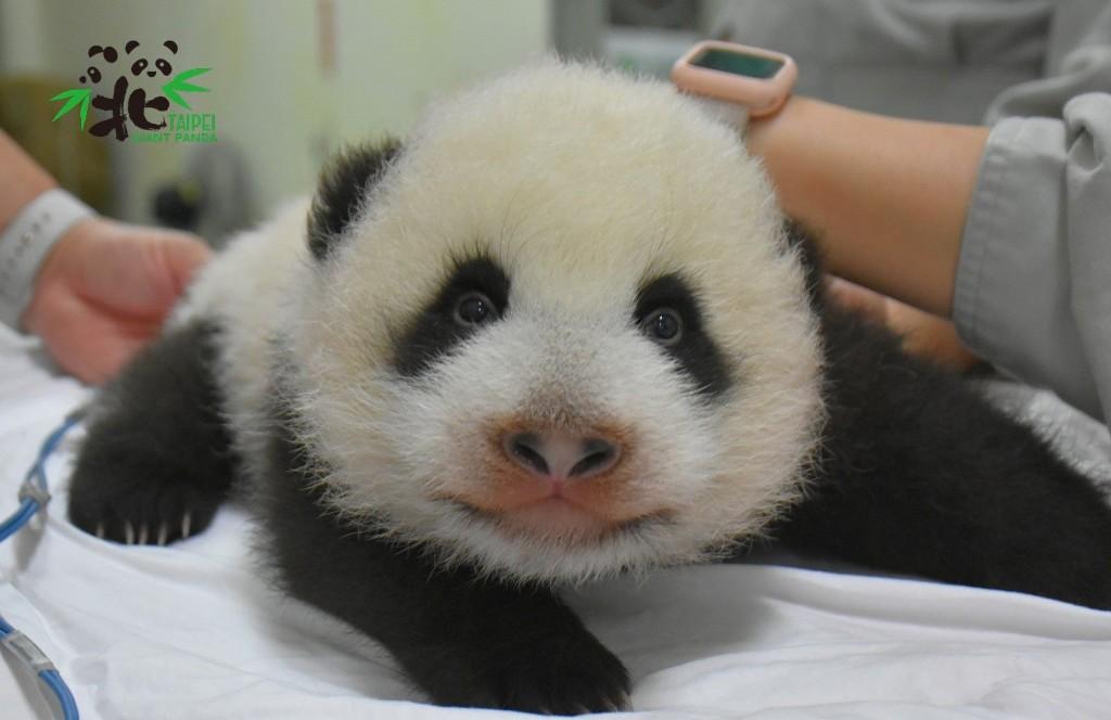 「新生兒圓寶」現階段的需求就跟一般嬰兒一樣,除了睡覺就是喝奶和排便(圖/ 台北市立動物園提供)