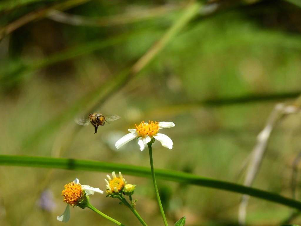 東方蜜蜂。(照片:特生中心提供/張仁川拍攝)