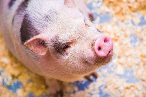 Taiwan's DPP assures public U.S. pork products are safe to eat.(Pixabay photo)