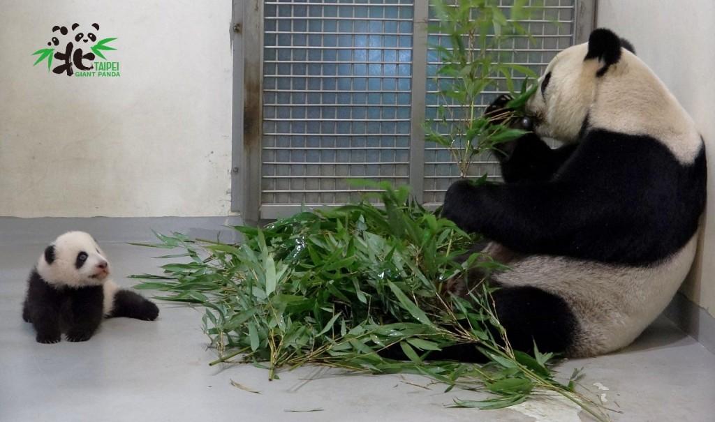 大貓熊寶寶「圓寶」與媽媽「圓圓」。(照片:台北市立動物園)