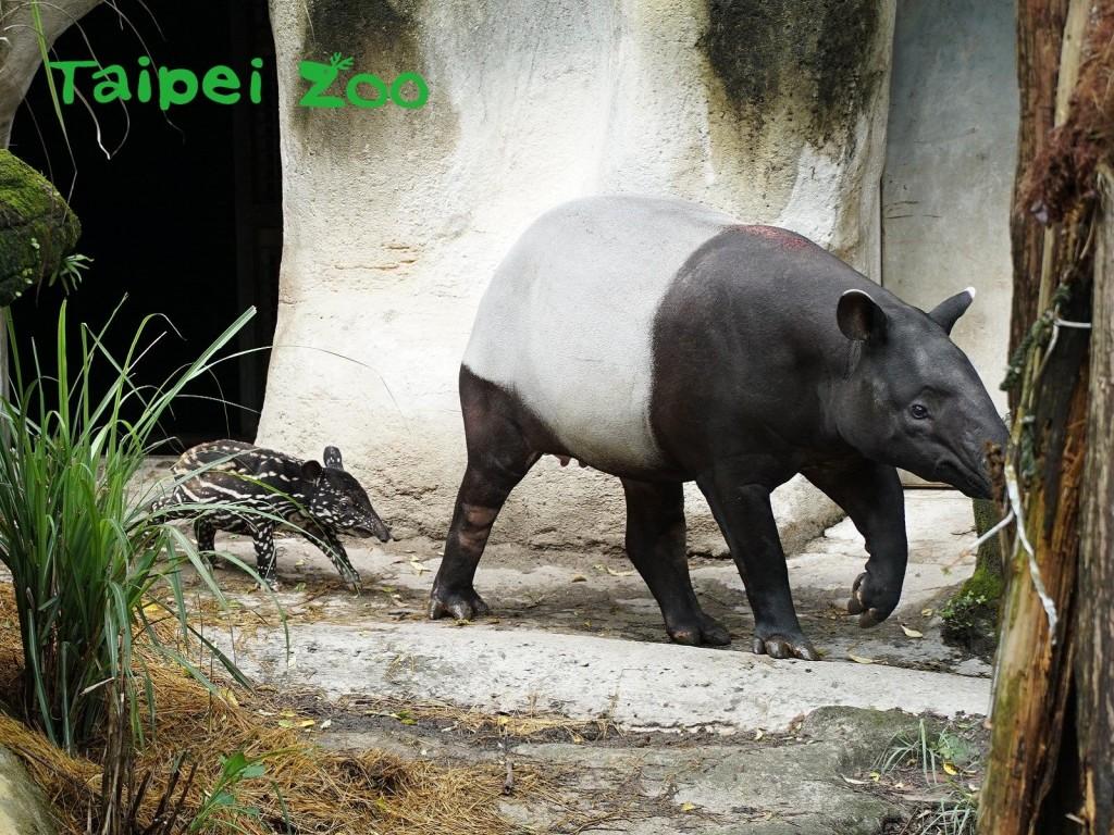 台北動物園的馬來貘母子。(圖片:台北市立動物園提供)