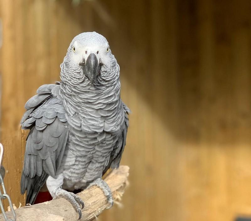 愛罵髒話的非洲灰鸚鵡(圖/林肯郡野生動物園)