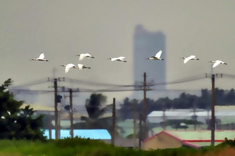 來台過冬的黑面琵鷺近日飛抵高雄茄萣濕地,茄萣觀光發展協會11日表示,黑面琵鷺來得比去年早,而且數量多,國慶連假期間吸引大批賞鳥人潮。(鳥...