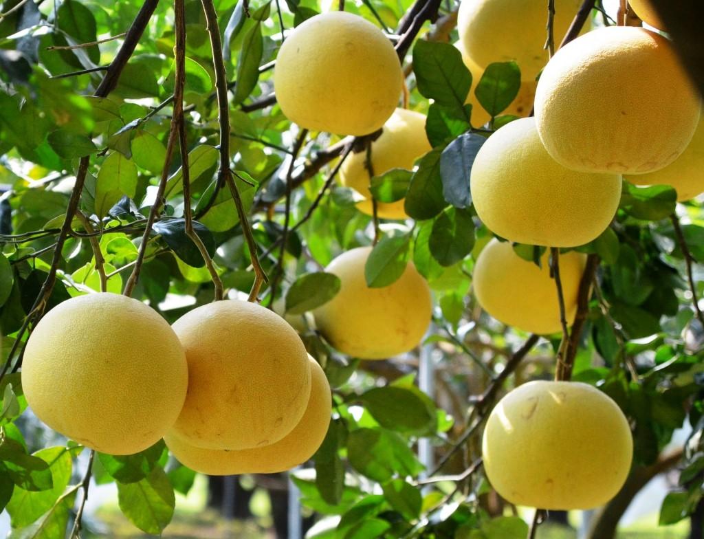 麻豆白柚或稱大白柚,原產台南麻豆區,目前全台種植面積714公頃。(照片來源:台南區農業改良場提供)
