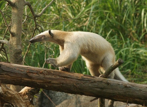 Collared anteaters are typically shy and not dangerous to humans. (Taipei Zoo photo)